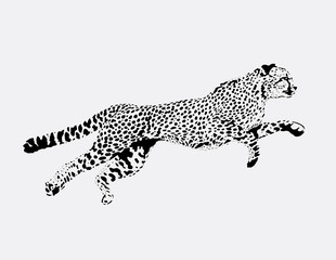 figure running Leopard on a grey background