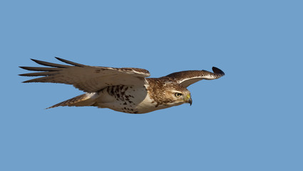 Red-tailed hawk isolated on a blue background in flight hunting in Canada Wall mural