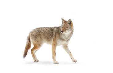 A lone Coyote isolated against a white background standing in the winter snow in Canada Wall mural