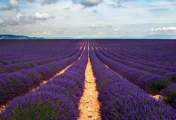 Lavender fields of the Provance, France