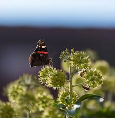 Schmetterling auf einer Pflanze im Abendlicht