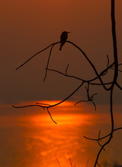 silhouette birds golden background in the evening