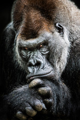 Western Lowland Gorilla II