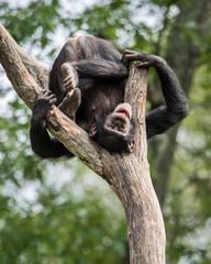 Cheeky Chimp II