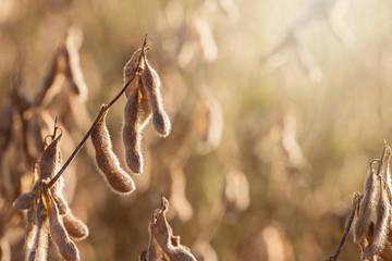 Soy Beans in a Louisiana Field
