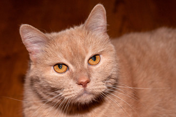 Fawn-colored or beige cat