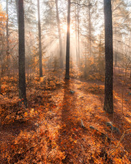 Foggy morning sun light forest
