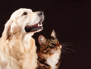 Cat and dog, siberian kitten , golden retriever looks at right