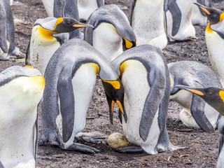 King Penguins in Egg Transfer