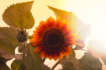 Photo of sunflower toned in retro style