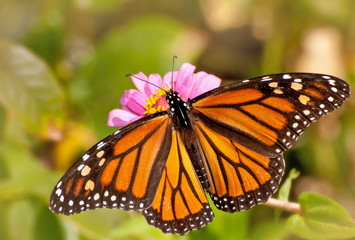 Dorsal view of a female Monarch butterfly in garden