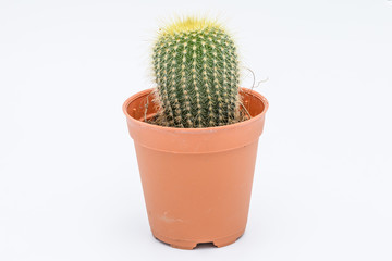 Beautiful cactus in pot isolated