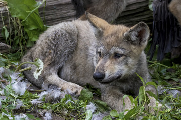 tired and full wolf puppy