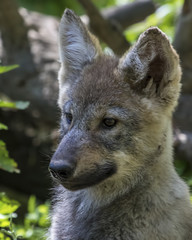 Young wolf puppy