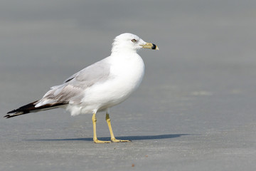 Close up of one seagull on the beach