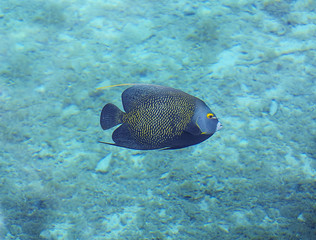 Underwater photo of a French Angelfish. Beautiful reef fish