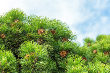 Green fur tree with cones on cloudy background