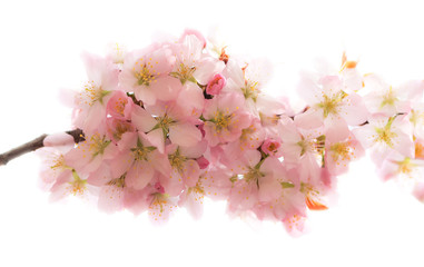 Isolated soft branch of pink tender sakura