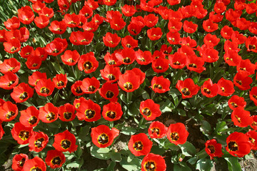 Red tulips are spring-blooming perennials.