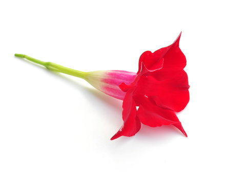 Red mandevilla flower isolated on white background