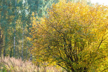 Hazel bush in an autumn forest