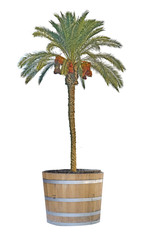 Date palm in pot