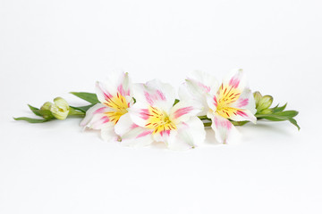 Alstroemeria flowers isolated on white background