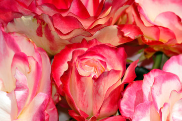 Beautiful pink and white roses