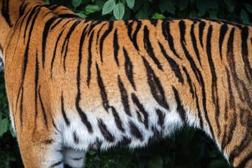 Sibirischer Tiger, Fell, Fellzeichnung