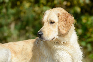 wet dog golden retriever lying and looking