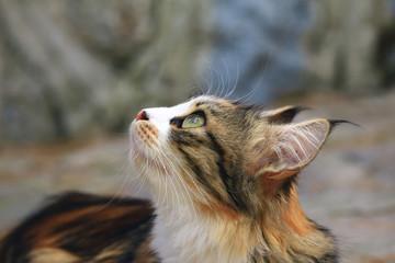 Uzun Kulaklı Kedi