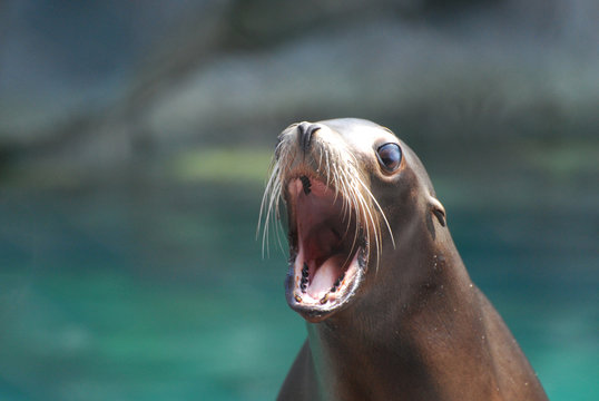 Cute Sea Lion With His Mouth Wide
