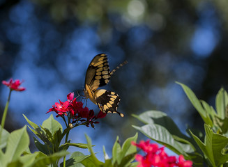 Giant Swallowtail Butterfly Gathers Nectar on red Jatropha Flower against Blue Bokeh Sky.