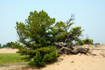 dwarf cedar in the sandy dunes on the shore of Lake Baikal. the sky is the smoke from fires in the taiga. Photo toned