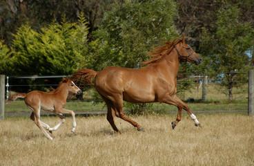 Wall Mural - Australian Stock Horse and foal.