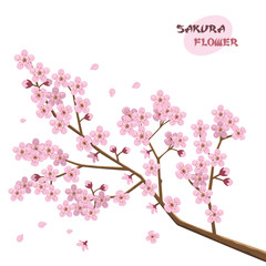 Sakura flowers. Japanese cherry tree.