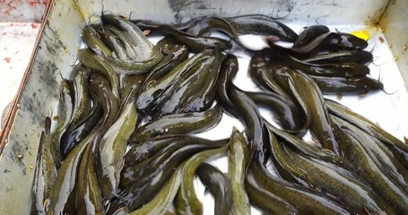 Search photos catfish for Walking fish for sale