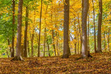 Deciduous trees with autumn colors in a forest