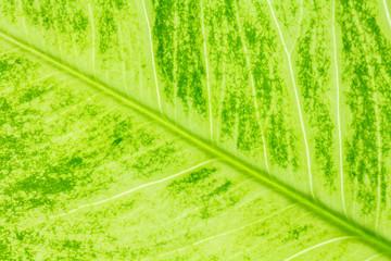 Leaf texture or leaf background for design. Abstract green leaf.