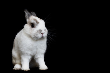 Cute white Netherland Dwarf Rabbit with Black background . copy space for text.