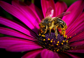 abeja cogiendo polen de la flor
