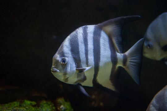 Atlantic spadefish (Chaetodipterus faber).
