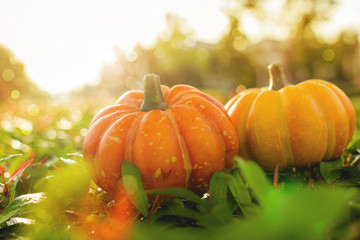 Pumpkins during at sunset.Pumpkins halloween day