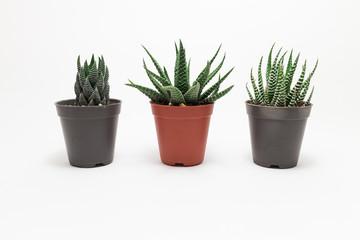 Cactus White background