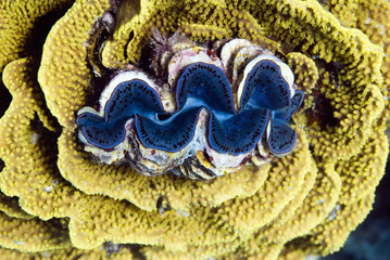 Giant clam nested in yellow salad coral
