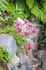 sedum on the rocks