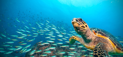 Tuinposter Onder water Hawksbill Sea Turtle in Indian ocean