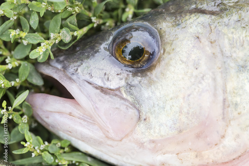 Asp predatory freshwater fish on green grass close up for Predatory freshwater fish