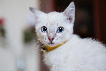 Grey kitten with blue eyes in yellow collar