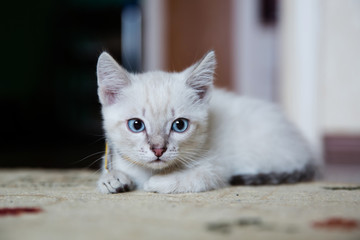 Grey kitten with blue eyes resting on the floor